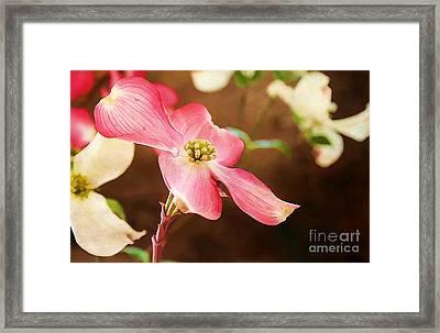 Dogwood Elegance Framed Print by Darren Fisher