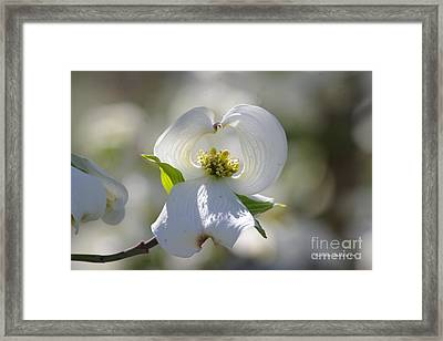 Framed Print featuring the photograph Dogwood Flower by Tannis  Baldwin