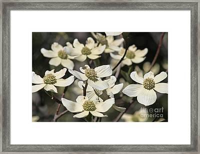 Dogwood Flowers Framed Print by Kenny Bosak