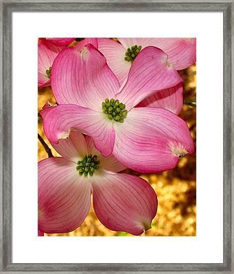 Dogwood In Pink Framed Print
