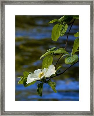 Dogwood On The Merced Framed Print by Bill Gallagher
