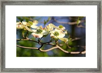 Dogwood Framed Print by Tracy Male