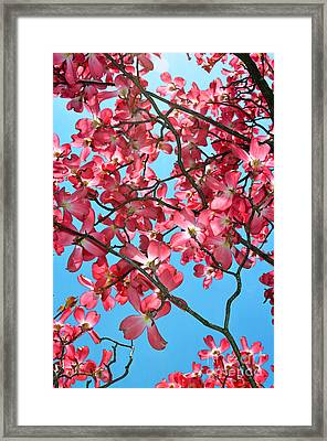 Dogwood Tree Flowers And Blue Sky Framed Print