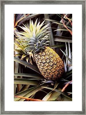 Dole Pineapple Plantation, Oahu, Hawaii Framed Print by Ned Haines
