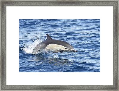Dolphin At Play Framed Print