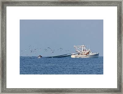 Dolphin Chase Framed Print