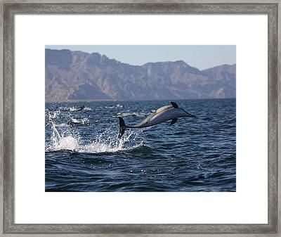 Dolphin Dance Framed Print by Kandy Hurley