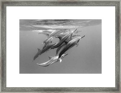 Dolphin Pod Framed Print by Sean Davey