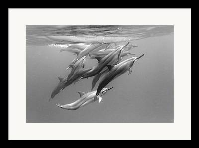Spinner Dolphin Framed Prints