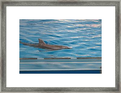 Dolphin Show - National Aquarium In Baltimore Md - 121215 Framed Print by DC Photographer