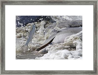 Dolphin Strand Feeding 2 Framed Print