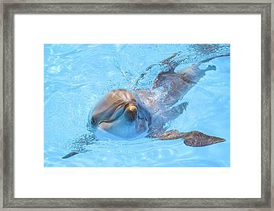 Dolphin Swimming Framed Print