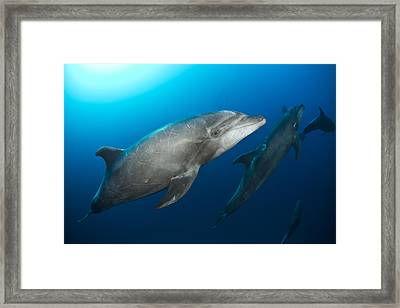 Dolphin Time Framed Print by David Valencia