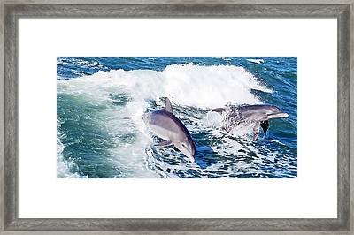 Dolphins Jumping Framed Print by Aimee L Maher Photography and Art Visit ALMGallerydotcom