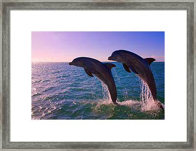 Dolphins Leaping From Sea, Roatan Framed Print by Keren Su