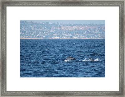 Dolphins Off The San Diego Coast Framed Print