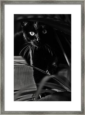 Domestic Black Panther Framed Print
