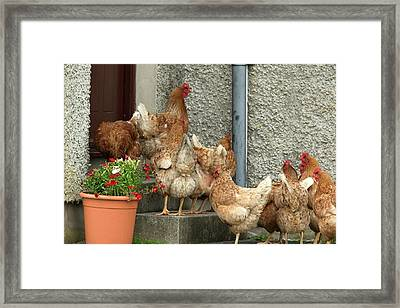 Domestic Chickens On Doorstep Framed Print by Simon Booth