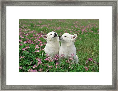 Domestic Dog Canis Familiaris Puppies Framed Print by Yuzo Nakagawa