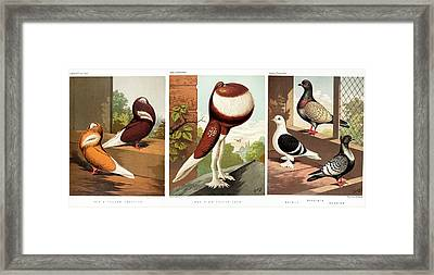 Domestic Fancy Pigeon Breeds Framed Print