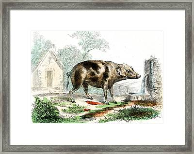 Domestic Pig Framed Print by Collection Abecasis