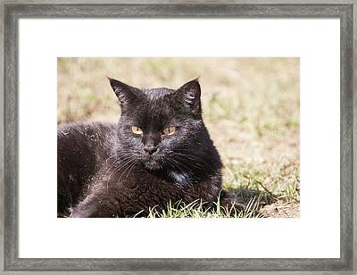 Domestic Shorthair Cat Laying In Grass Framed Print