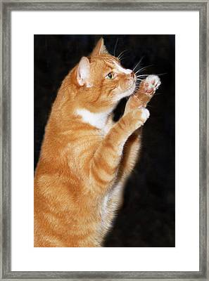 Domestic Shorthair Cat Up On Hind Legs Framed Print