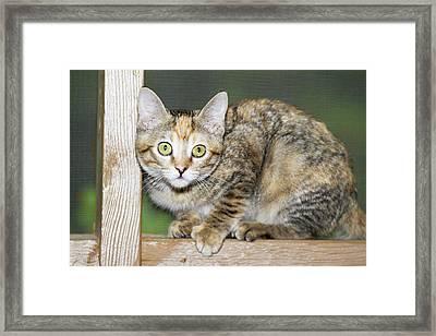 Domestic Shorthair Kitten Framed Print