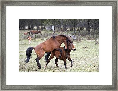 Dominance-subordinance In Tibetan Ponies Framed Print