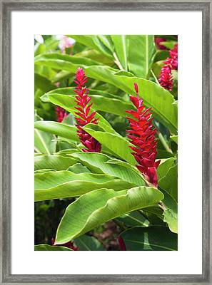 Dominica, Salybia, Red Ginger Flower Framed Print