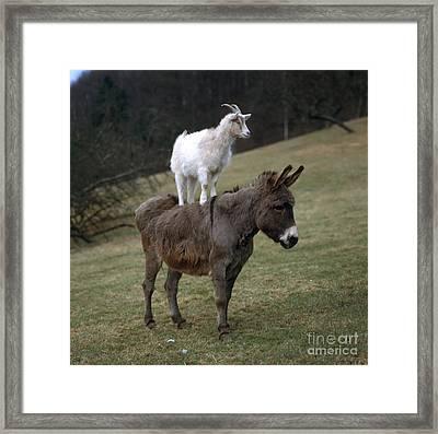 Donkey And Goat Framed Print