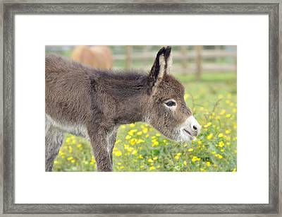 Donkey Baby Framed Print by John Daniels