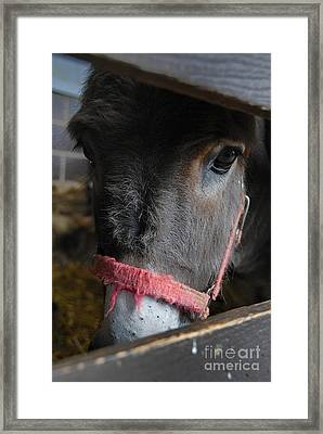 Donkey Behind Fence Framed Print by Amy Cicconi