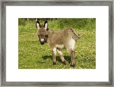 Donkey Foal Framed Print by Jean-Michel Labat