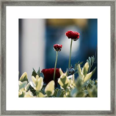 Don't Be Ranunculus Framed Print