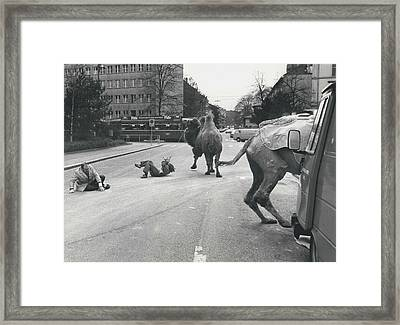 Don�t Move To New Address By Camels! Framed Print by Retro Images Archive