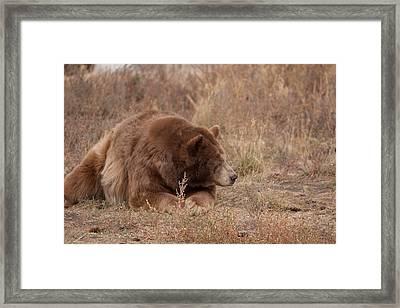 Don't Poke A Sleeping Bear Framed Print by Robert  Torkomian