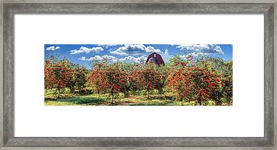 Door County Cherry Harvest And Red Barn Panorama Framed Print by Christopher Arndt