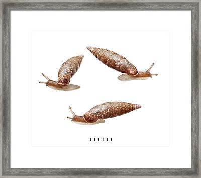 Door Snail Framed Print by Natural History Museum, London