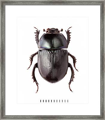 Dor Beetle Framed Print