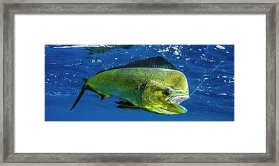 Dorado Coryphaena Hippurus Is Seen Framed Print