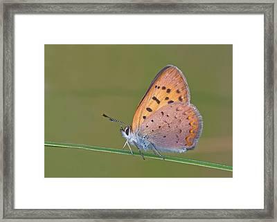 Dorcas Copper Framed Print