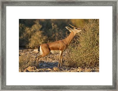 Dorcas Gazelle (gazella Dorcas) Framed Print