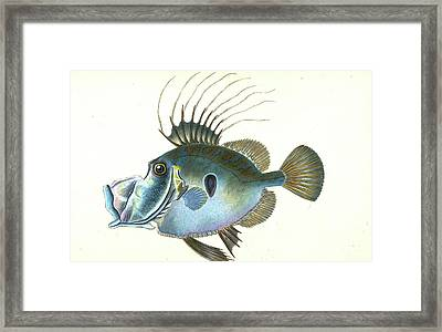 Doree, Zeus, Faber, 1802, British Fishes Framed Print by Artokoloro