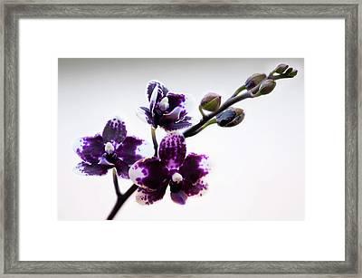 Doritaenopsis Sogo Chabstic Orchid Framed Print