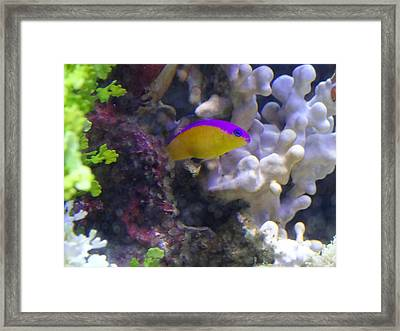 Dottyback After Dinner Framed Print