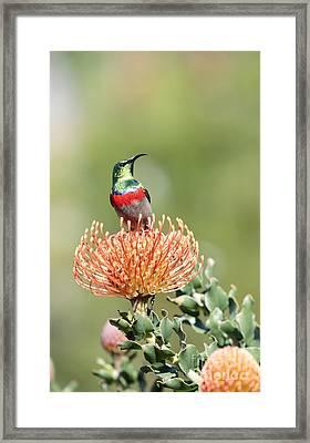 Double Collared Sunbird Framed Print