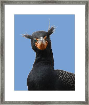 Double Crested Corm 8x10 Framed Print by David Lynch