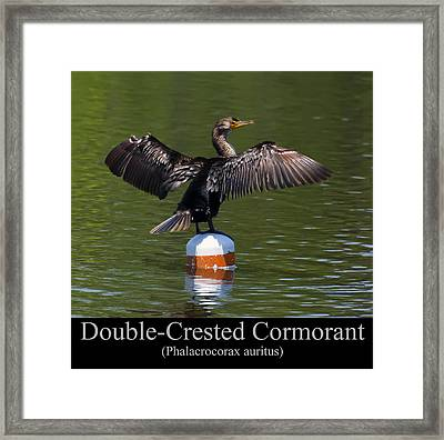 Double Crested Cormorant Framed Print by Chris Flees