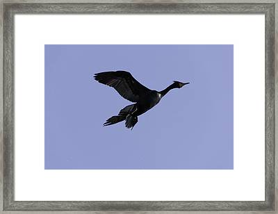 Double-crested Cormorant Coming In. Framed Print